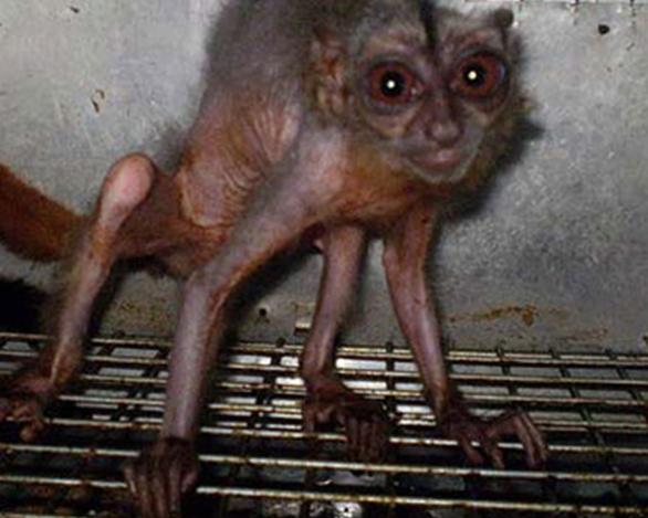 En el reportaje de la Revista Cambio se presentaron fotografías de micos aotus en mal estado de salud. Foto obtenida del portal www.kienyke.com
